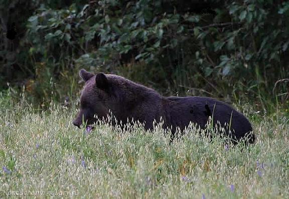 Медведь на овсяном поле