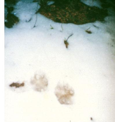 Волчий след