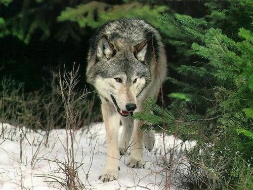 Волк у елки