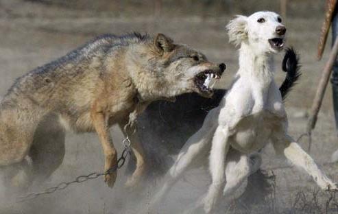 Волк с собакой