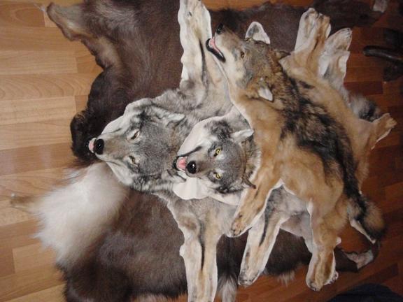 Съемка и правка волчьей шкуры