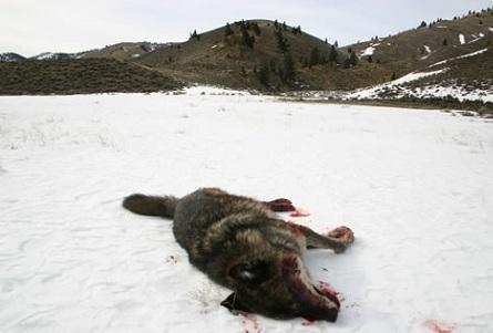 Убитый волк