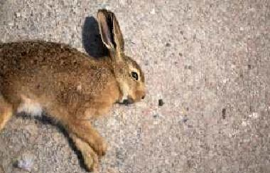 труп зайца