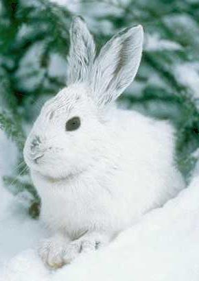 Белый заяц