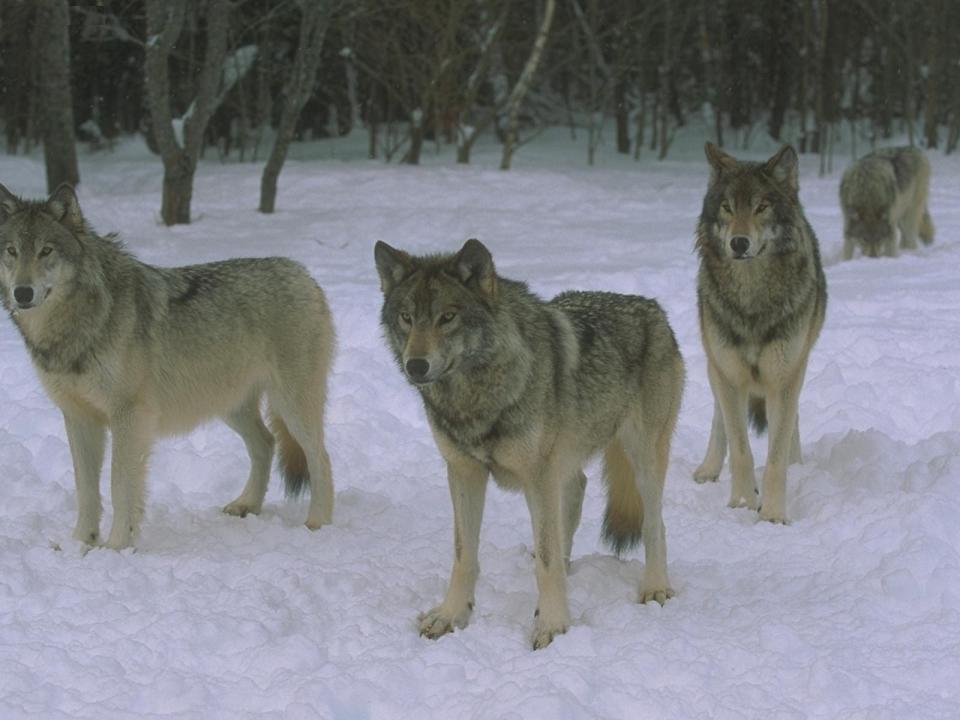 Волки в Бурятии