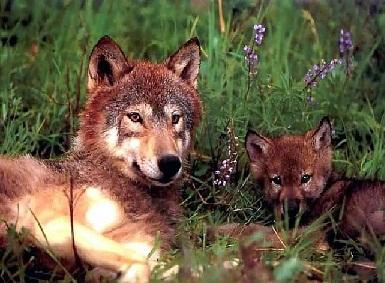 Волк летом