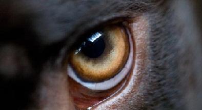 Глаз пса