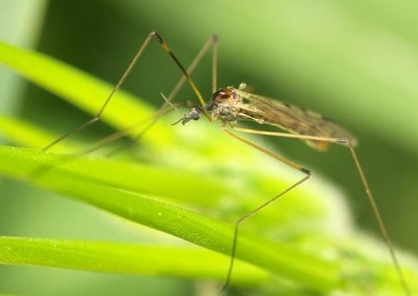 Таёжный комар