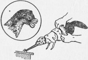 Линии разреза шкурки при съмке чулком
