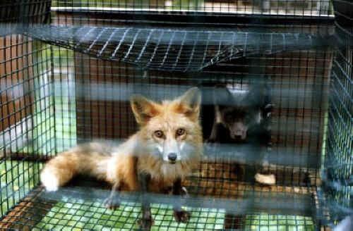 Клетка лисы