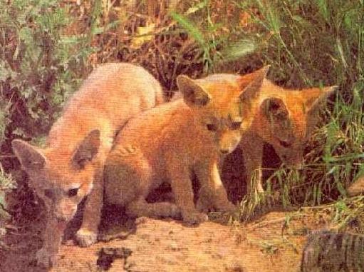 Щенки лисицы