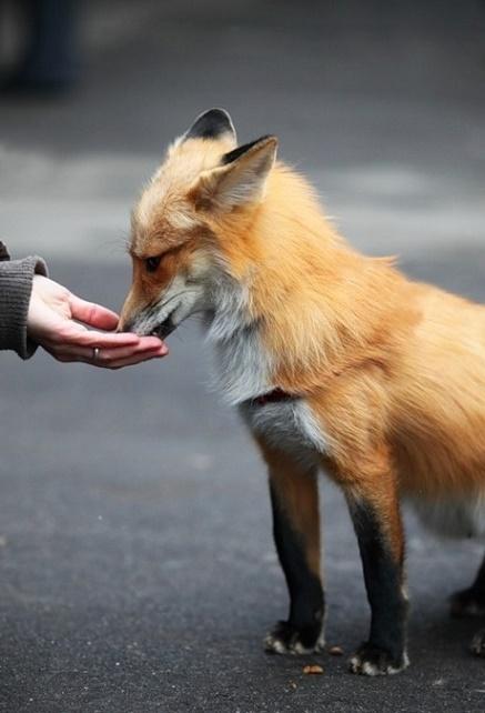 Кормление лисы