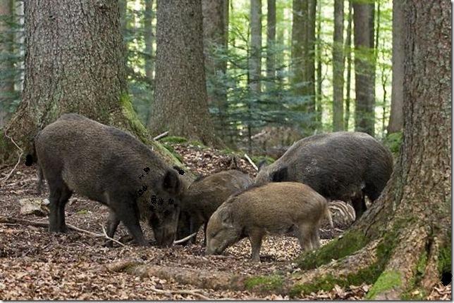 Кабан - враг леса и охотников