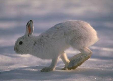 Проворный заяц