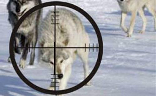 Стрельба волков