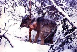 Охота скрадом