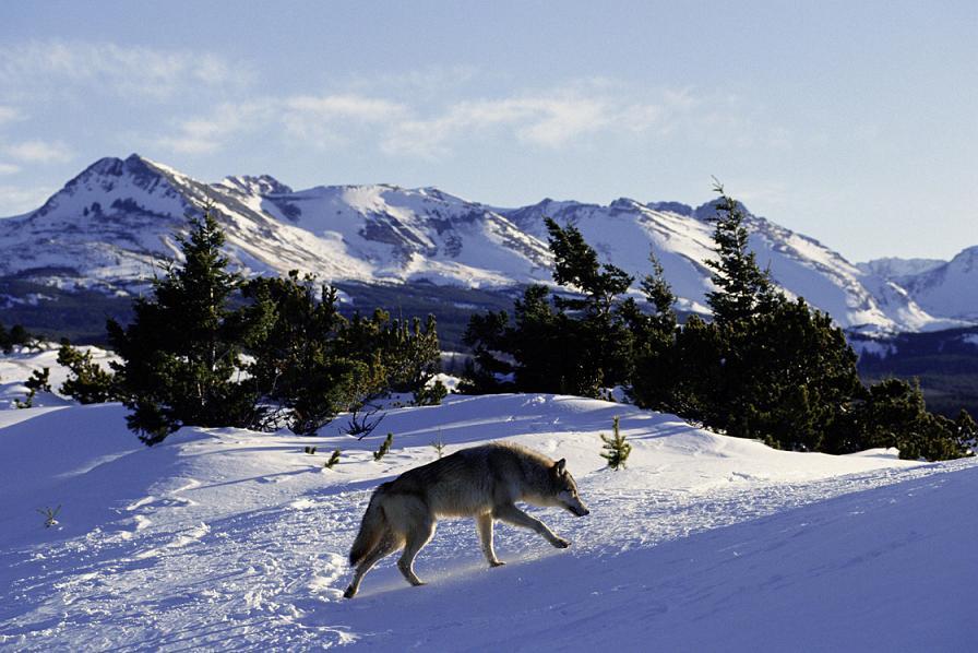 Течка волчицы