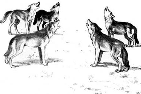 Волки в приваде