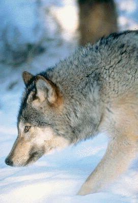 Приваживание волков