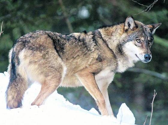 Проблема бешенства у волков. Расказ