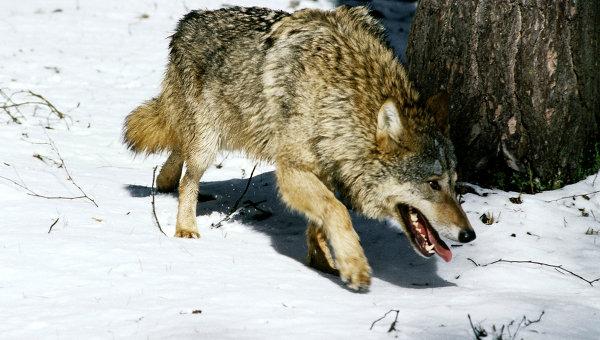 По следам бешеного волка