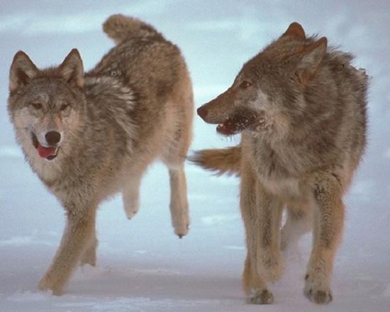 Флажки для облавы волков