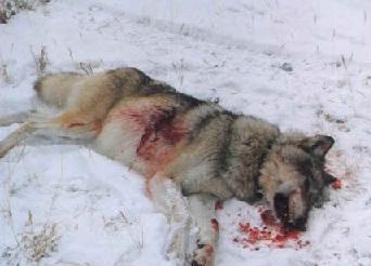 Убитый бешеный волк
