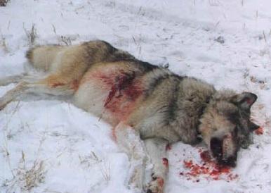 Мертвый волк