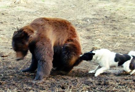 Зверовая лайка и медведь