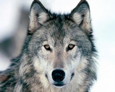 Волк молодой