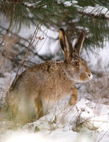 Охота на зайца-русака с подхода